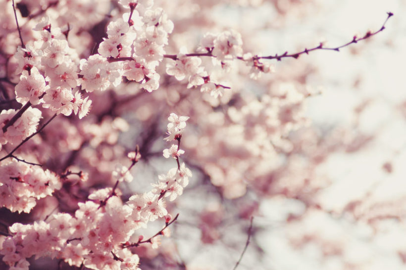 37243434 - spring cherry blossoms, pink flowers.