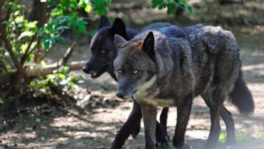 アラスカの町で犬たちと遊び、住民と友だちになった一匹オオカミがいた!