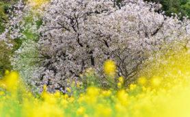 もうすぐ春ですね。日本三大桜を知っていますか?