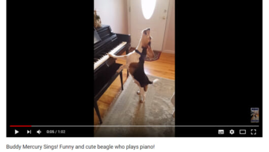 【可愛すぎる動物動画】「彼は最高のブルースシンガーだ!」 ピアノの弾き語りを披露するビーグル犬が話題