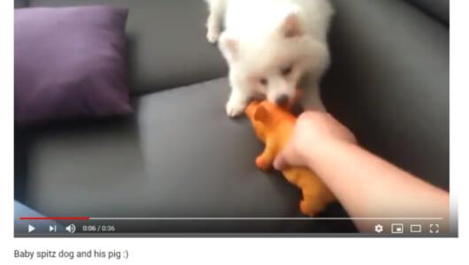 【可愛すぎる動物動画】スピッツVS豚のおもちゃによる仁義なき戦い! 懸命に立ち向かう小さな勇者の奮闘記