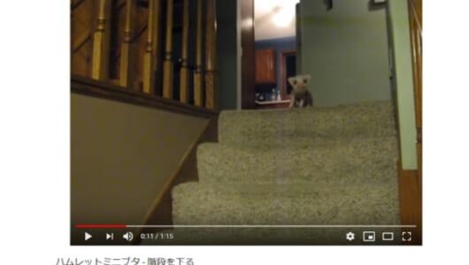 【可愛すぎる動物動画】ミニブタの愛くるしい姿にファン急増中!? 階段を下りられないミニブタの小さな勇気