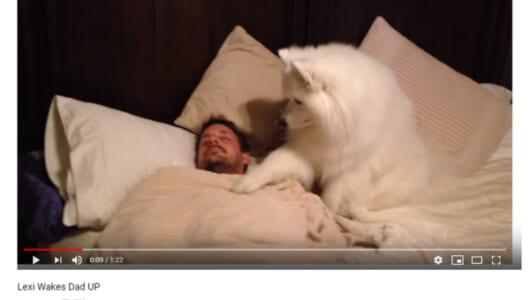 【可愛すぎる動物動画】ふわふわの前足で優しくトントン… モフモフ犬の健気すぎる起こし方