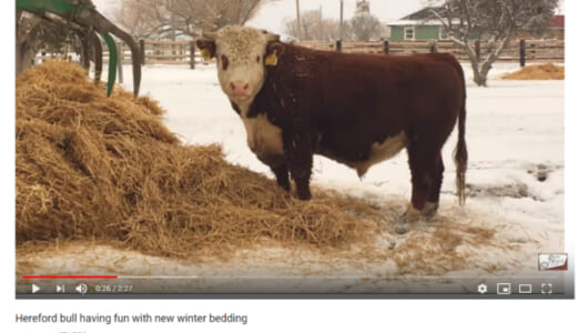 """【可愛すぎる動物動画】モー喜ばずにはいられない! 暖かい寝床を前に子犬のように大喜びする""""牛""""が微笑ましい…"""