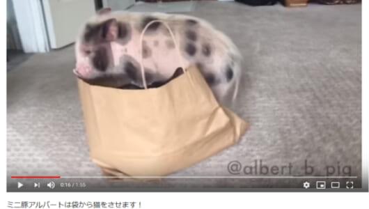 """【可愛すぎる動物動画】何がなんでも入りたい! 猫VSミニブタによる""""紙袋""""を巡る熾烈な戦い"""