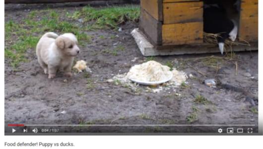 【可愛すぎる動物動画】アヒルの群れから餌を守り切る小さな勇姿…? 子犬の可愛い見た目に騙されるな!