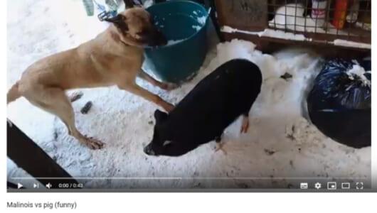 【可愛すぎる動物動画】個性的な動物が勢揃い!? 黒ブタVSマリノアの不毛な戦いに終止符を打ったのは誰?