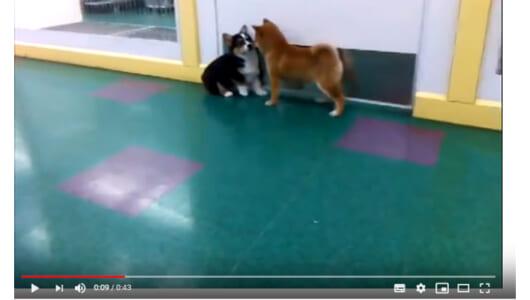 柴犬のちょっかいにとうとうキレたコーギーは… 赤ちゃんコーギーと柴犬の壮絶な戦い