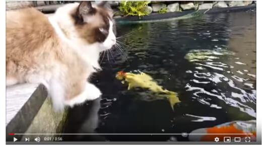 【必見オモシロ動画】異種交流に思わず感動… ティモと鯉に友情が芽生える