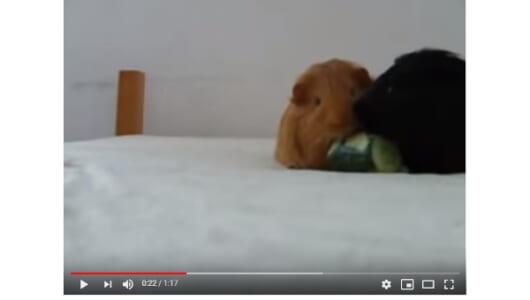 【必見オモシロ動画】キュウリ戦争ついに勃発! 3匹のモルモットの仁義なき戦い