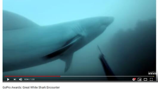 【必見オモシロ動画】「JAWS」よりも盛り上げ上手なホホジロザメ登場! 危険な接近は1度で終わらない…?