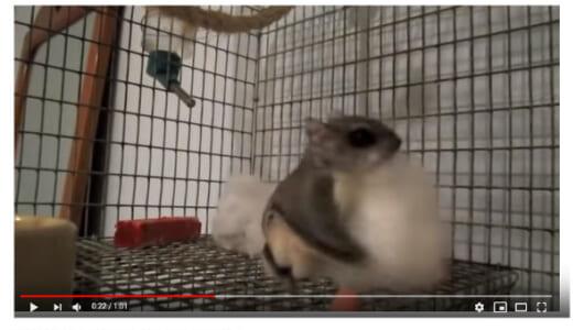 【必見オモシロ動画】好きすぎちゃってどうしよう!? 綿を愛しすぎているモモンガの高速モフモフ