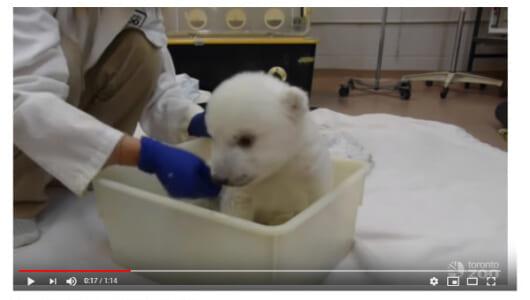 【必見オモシロ動画】子犬? ぬいぐるみ? お風呂を堪能するシロクマの赤ちゃんに悶絶