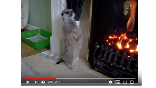 【必見オモシロ動画】人影かと思ってよく見てみたら… 直立不動でひたすら暖をとるミーアキャット