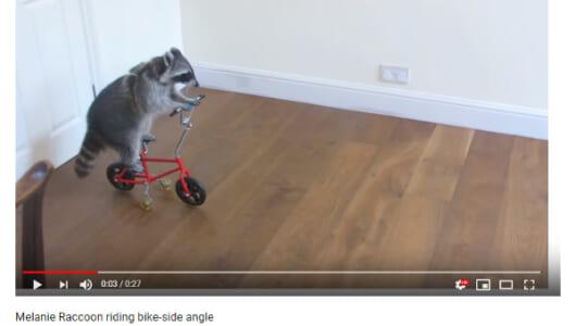 【必見オモシロ動画】自転車に乗るアライグマのメラニーちゃんが可愛すぎる