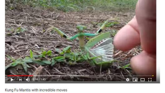【必見オモシロ動画】ジャッキー・チェンもびっくり!? 蟷螂拳を披露するカマキリ