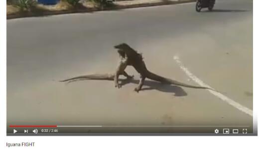 【必見オモシロ動画】まるで怪獣の決戦シーン!? 街中でひたすら取っ組み合う巨大なトカゲたち