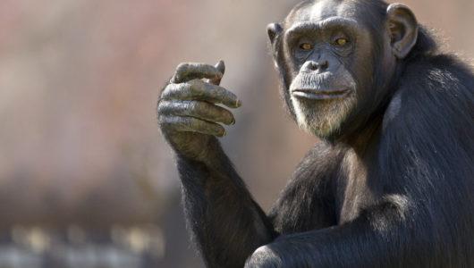スマホをこんなに使えるなんて……チンパンジーのすご過ぎる能力