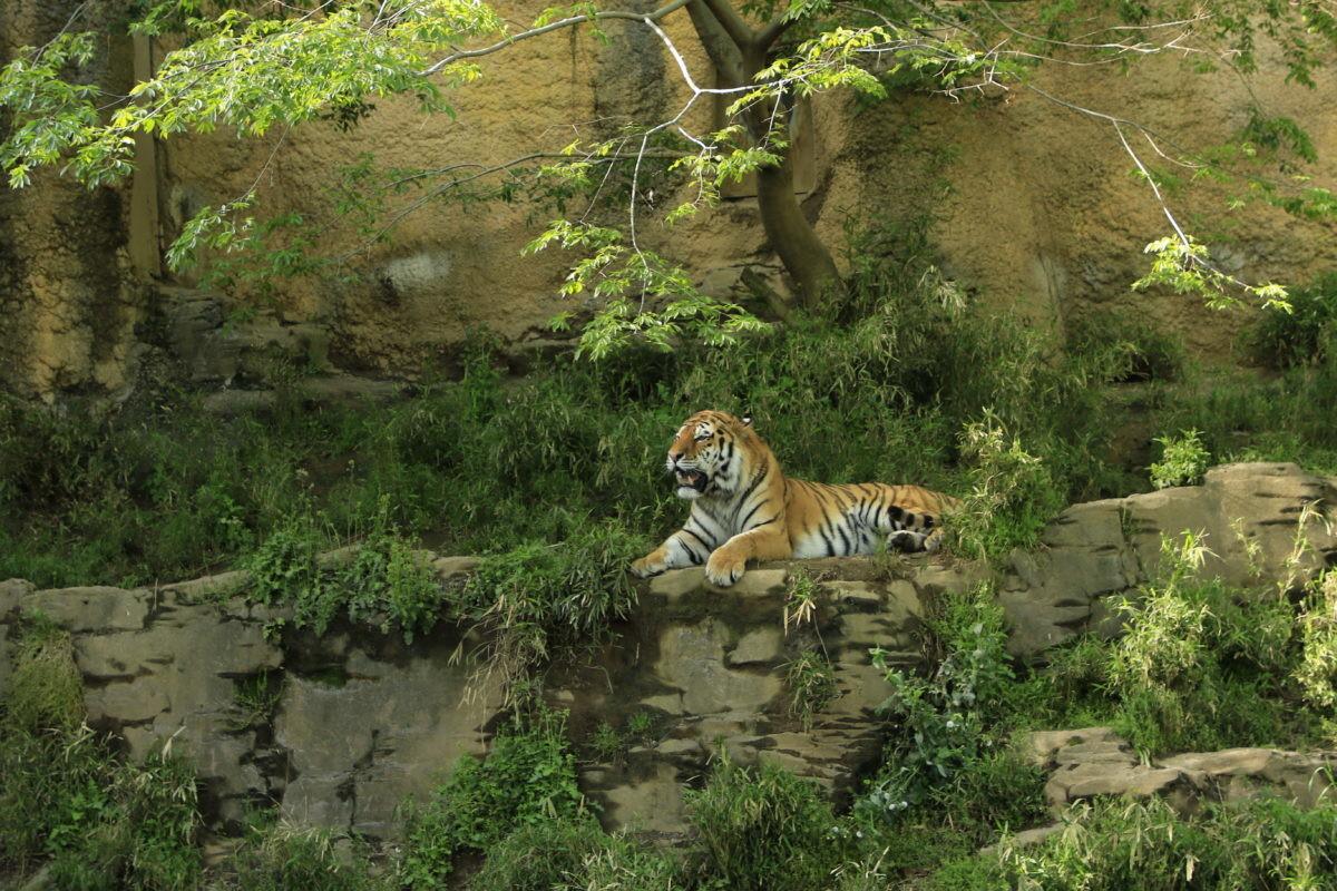↑動物園でよく見る風景です。トラがいることはわかるだけでディテールはさっぱり見えません