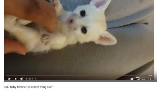 【必見オモシロ動画】小っちゃすぎてどうしよう~!? こしょこしょされるフェネックの赤ちゃん