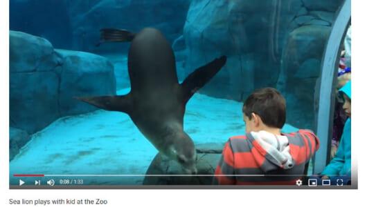 【必見オモシロ動画】「ねえねえ、まだ~?」 人間の男の子と遊びたくて仕方がないアシカ