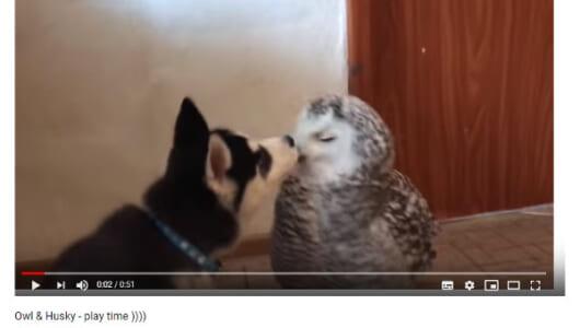 【必見オモシロ動画】「ぼくのおもちゃだぞ!」 兄弟のように仲がいいハスキーとフクロウ