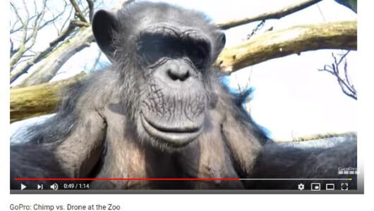 【必見オモシロ動画】「なんだこれは!?」 ドローンを叩き落とすチンパンジー