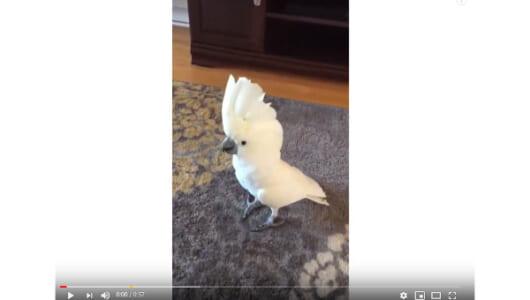 【必見オモシロ動画】マイケル・ジャクソンも驚愕!? スリラーを踊る鳥
