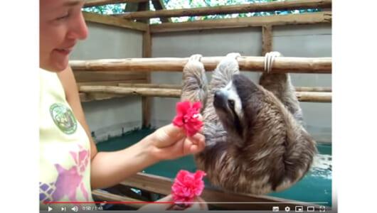 【必見オモシロ動画】動きがおそ~い! 女性とハグがしたいナマケモノ