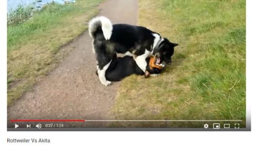 【必見オモシロ動画】凄すぎてハラハラ… 秋田犬とロットワイラーのじゃれあいが大迫力