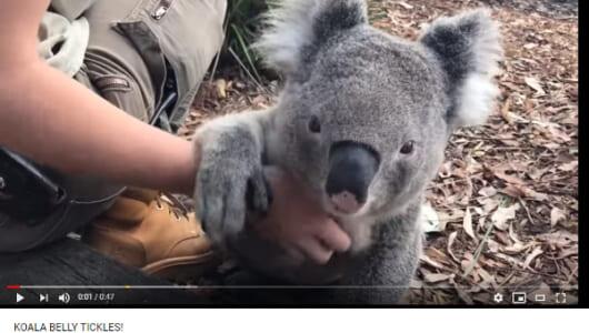【必見オモシロ動画】もっとなでなでしてほしい! あまりにも気持ちよくて脱力するコアラ