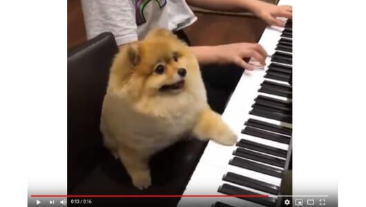 【必見オモシロ動画】「音が鳴るワン!?」 ピアノ演奏が楽しくなっちゃった犬