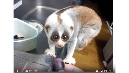 【必見オモシロ動画】「もらっていいの…?」 つぶらな瞳のスローロリスがぶどうをむしゃむしゃ