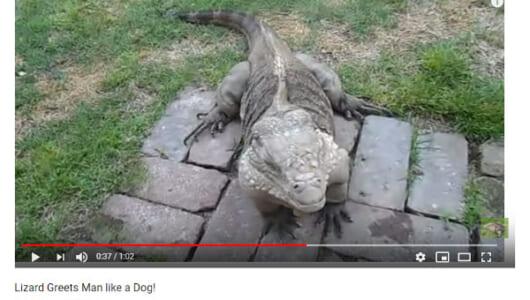 【必見オモシロ動画】「ウチの犬よりも犬っぽいんだけど…」 呼んだら駆けつけてくるトカゲ