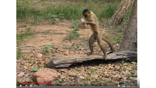 【必見オモシロ動画】「人間でも同じことするよね」 道具を使って器用にえさを食べるサル