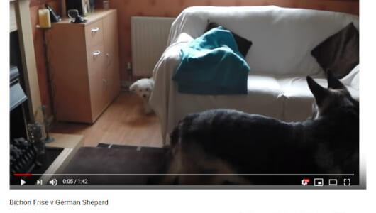 【必見オモシロ動画】次はどっち? ソファでかくれんぼする子犬とシェパード