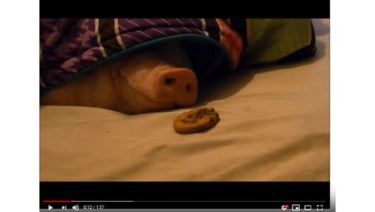 【必見オモシロ動画】果たしてどうなる? 寝ている豚にクッキーを与えてみた