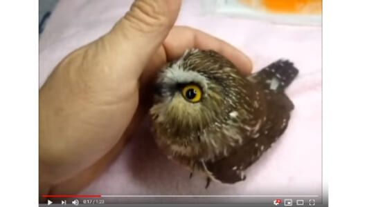 【必見オモシロ動画】これホントに猛禽類なの!? なでなでが好きすぎるフクロウの子ども