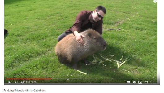 【必見オモシロ動画】もはや毛の生えたカバにしか見えない!? めちゃくちゃ人懐っこくてデカいカピバラ