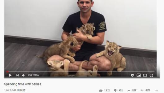 【必見オモシロ動画】かわいくってどうしよう!? おじさんと戯れる子ライオンたち