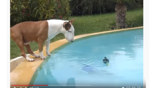【必見オモシロ動画】泳ぐの下手すぎィ! もはや溺れているようにしか見えない犬