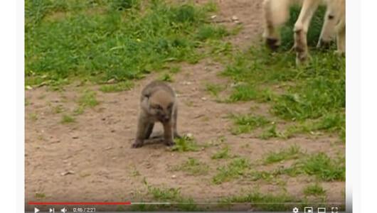 【必見オモシロ動画】孤独なイメージとは正反対!? ほっこりするオオカミの家族