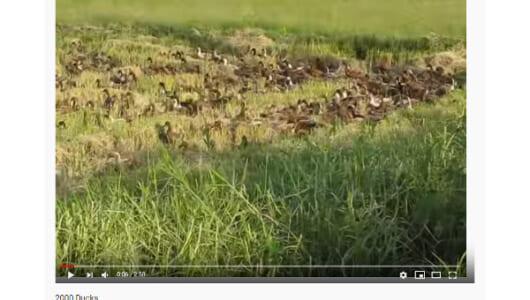【必見オモシロ動画】いったい何羽いるんだろう… 大量のアヒルたちが大陸横断