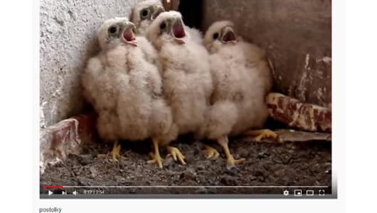 【必見オモシロ動画】「エサだ! エサが来たぞ!」 必死にエサを食べるヒナたち