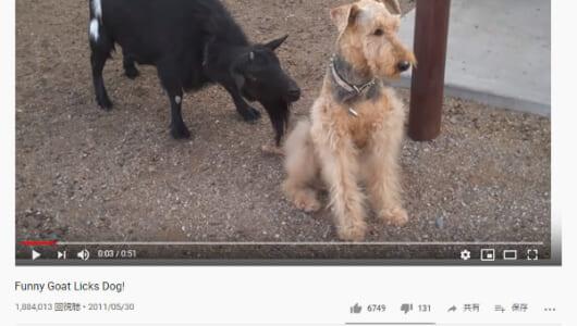 【必見オモシロ動画】「かまってよぉ~(泣)」 ヤギをガン無視する犬