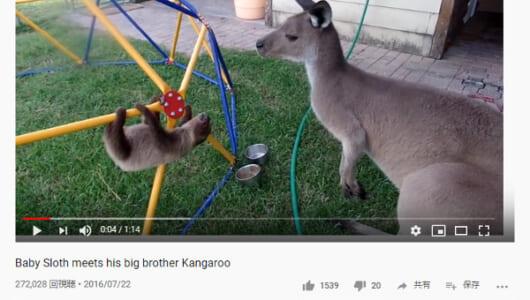 【必見オモシロ動画】もっともっと触れ合いたい! カンガルーにかまってほしいナマケモノ
