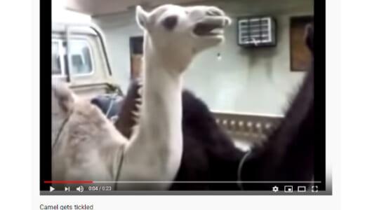 【必見オモシロ動画】どういう感情なの!? こちょこちょされて叫ぶラクダ