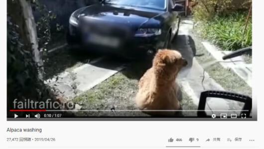 【必見オモシロ動画】洗車ならぬ洗アルパカ!? 高圧洗浄機で洗われるアルパカちゃん