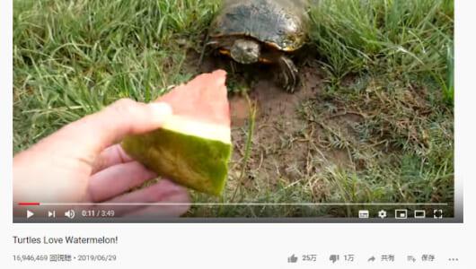 【必見オモシロ動画】小さな沼がお祭り状態に!? スイカをシャクシャクと食べるカメたち