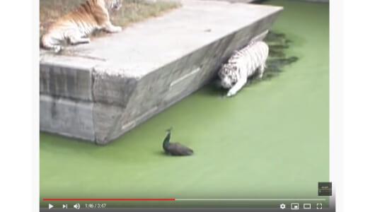 【必見オモシロ動画】危な~い! ホワイトタイガーに目をつけられた鳥